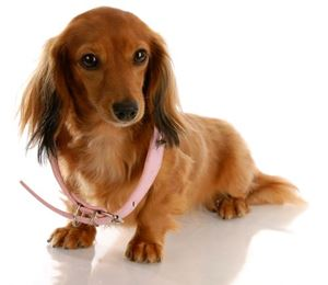 Dog Collars and what to choose ?