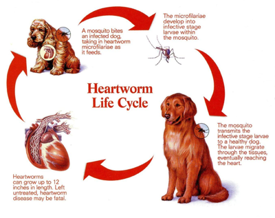 Top Tips To Prevent Heartworm Disease In Dogs